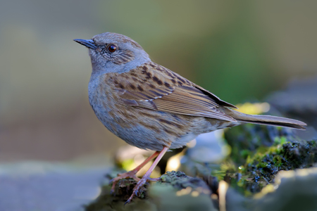 Dunnock posing in wet and gloomy environment Stock Photo