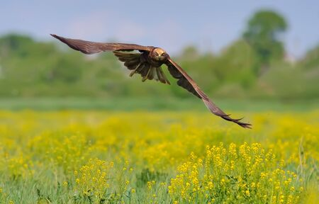 raptorial: Western Marsh Harrier flying over the blossoming field