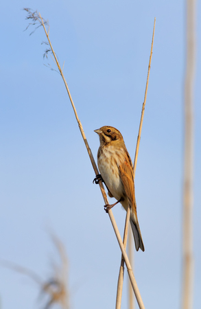 common reed: Common Reed Bunting perched on tiny cane stems