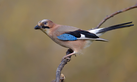 solicitous: Eurasian Jay perched on a willow branch