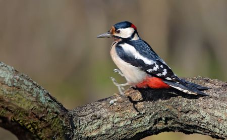 Male Great Spotted Woodpecker jumping at old lichen branch