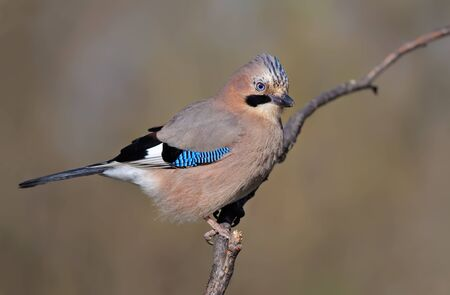 solicitous: Eurasian jay posing on a willow branch Stock Photo