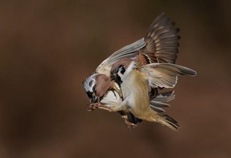 Eurasian Tree Sparrows in brutal battle in the air