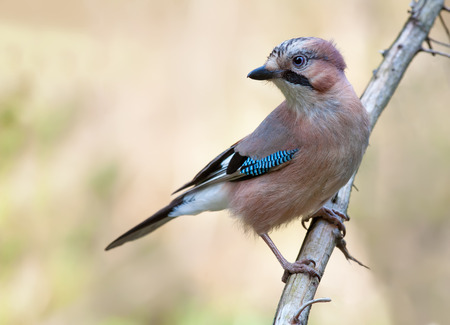 Eurasian Jay perched on a dry branch with light background