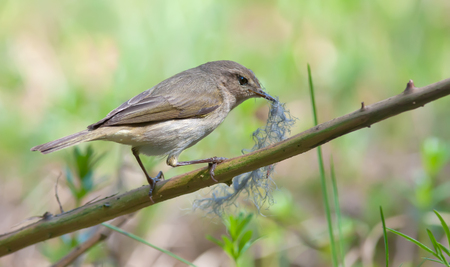 Common Chiffchaff perched with nest material in beak