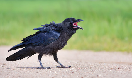 Young Common Raven walking on the road with open beak Stock Photo