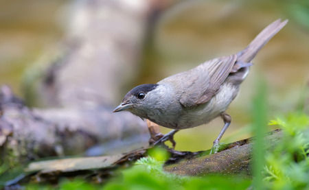 warblers: Male Eurasian Blackcap curious look near a water pond Stock Photo