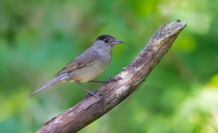 warblers: Male Eurasian Blackcap perched on an old dry branch Stock Photo