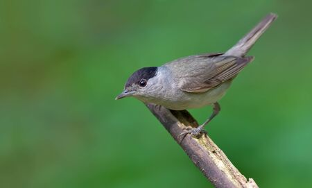 warblers: Male Eurasian Blackcap looking curious and posing on a stick
