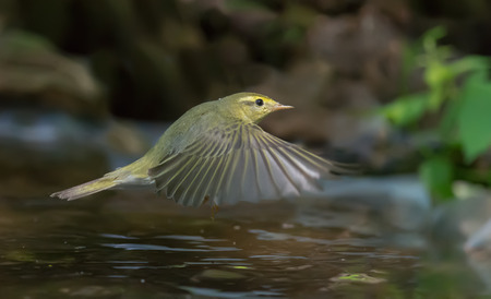 quickness: Wood Warbler flying over a watering pond