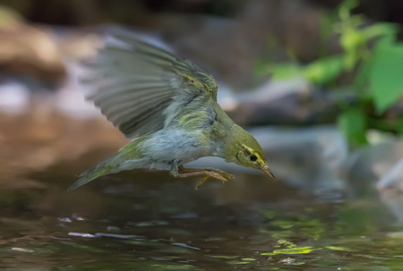 quickness: Wood Warbler flying over a water pond