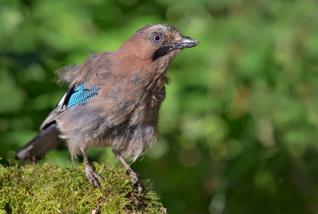 Curious Eurasian Jay posing on a mossy stump in the forest at high definition