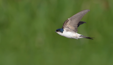 Common House Martin in very fast flight with lifted wings Stock Photo