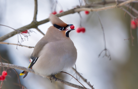 Bohemian Waxwing posing with a Viburnum berry in the beak 免版税图像