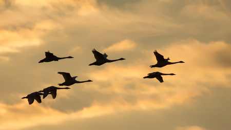 spreaded: Group of Whooper swans in flight at sunset