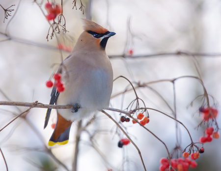 Bohemian waxwings perched on a viburnum tree with berries Stock Photo