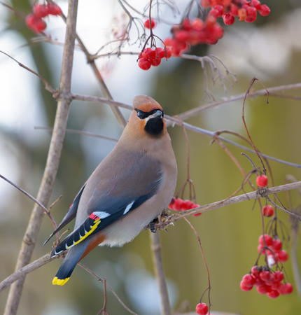 Bohemian waxwings posing on a viburnum tree with berries