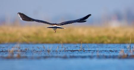 総: 水池の上飛行 backview でタゲリ 写真素材