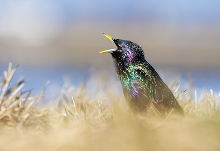 Common Starling sings with wide open beak in grass at sunset