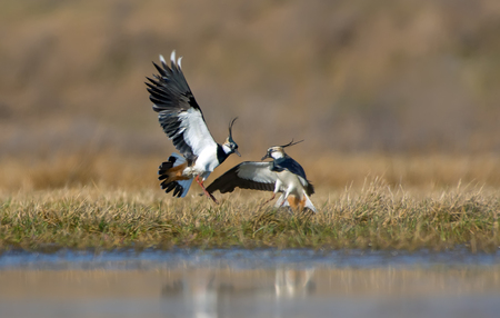 Northern lapwing males severe combat in the air at spring in fields