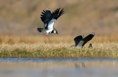 Northern lapwing males fighting in the air at spring in fields