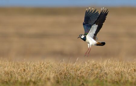 quickness: Northern lapwing in flight over grass and ground with fully stretched wings Stock Photo