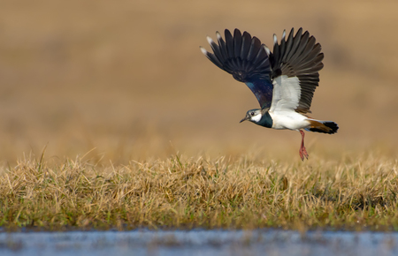 Northern lapwing in flight over grass and ground with fully stretched wings Imagens - 79798086