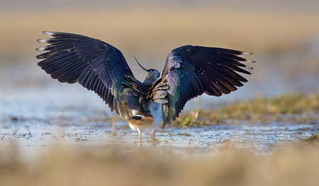 Northern lapwing walking in water with open wings Фото со стока
