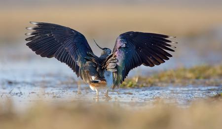 Vanneau huppé marchant dans l'eau aux ailes ouvertes Banque d'images - 79798088