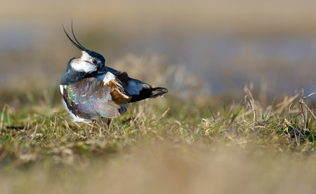 Northern lapwing preens its feathers after washing Stock Photo
