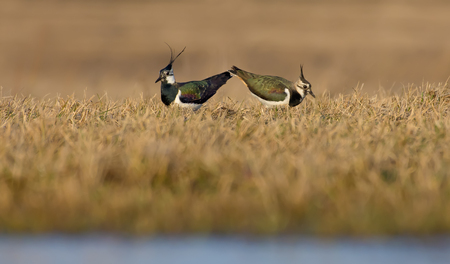 Northern lapwing male and female act in courtship and love display