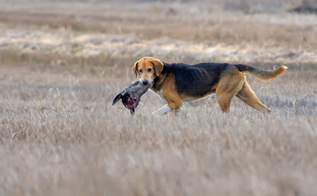 Wild Dog crosses a field holding a deers head in its teeth