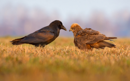 imminence: Western Marsh Harrier y Common Raven se paran uno frente al otro Foto de archivo