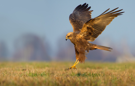 Female Western Marsh Harrier lands over the field with fully stretched wings and legs Stock Photo