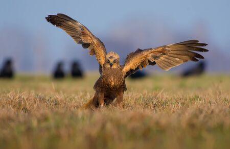 raptorial: Western Marsh Harrier posing with spreading wings in the morning