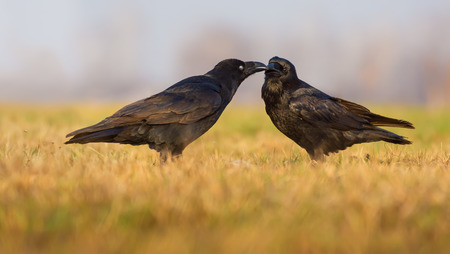 Pair of Common Ravens kissing and grooming each other