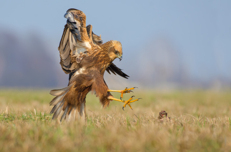 spreaded: Western Marsh Harrier attacks in fast flight with spreaded claws