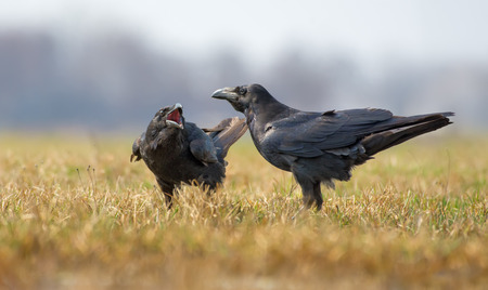 Common ravens interactions - asking for some treatment with wide open beak Stock Photo