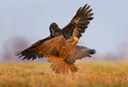 Western Marsh Harrier and Common Raven fight with each other in air with spreaded wings