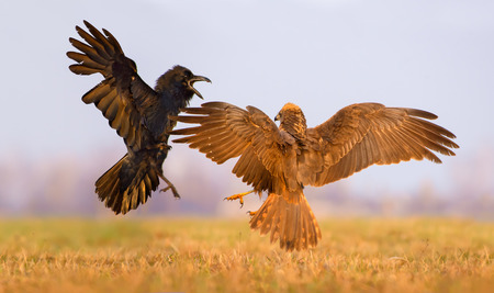Western Marsh Harrier and Common Raven fight against each other in the air with spreading wings and tails