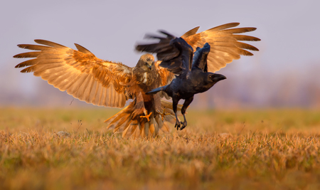 Western Marsh Harrier attentions and tricks to catch a Common Raven with claws and fully wide opened wings Stock Photo