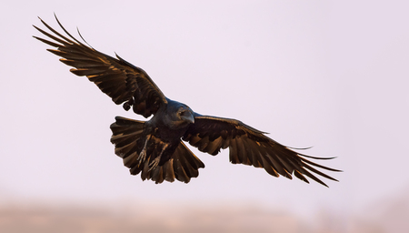 spreaded: Common Raven soaring in the sky with stretched wings, legs and tail