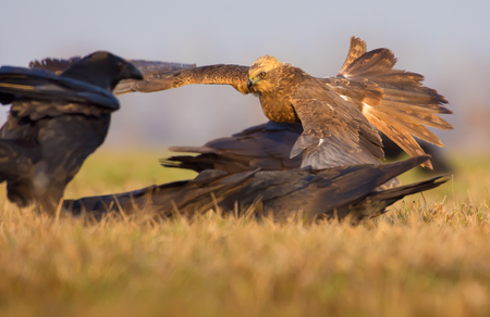Western Marsh Harrier frightens away Common Ravens from some carrion of dead animal