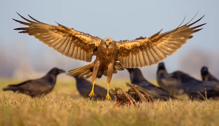 raptorial: Female Western Marsh Harrier incoming flight with full wide open body legs wings