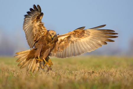 spreaded: Western Marsh Harrier attacks in fast flight with spreaded talons, tail and wings Stock Photo