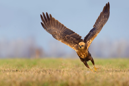 spreaded: Western Marsh Harrier speedy take off with the whole wingspread