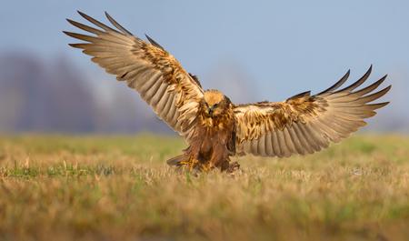 raptorial: Landing of Western Marsh Harrier in grass with full wingspan in the morning light