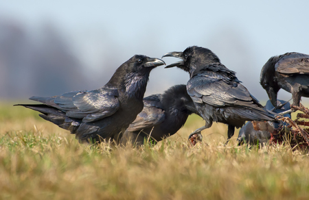 Common ravens interactions - hard quarrel between two birds for carrion
