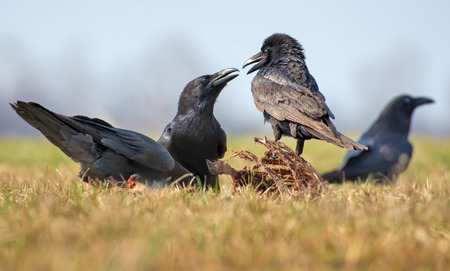 Common ravens interactions - hard between two birds for carrion, bones and carcass Stock Photo