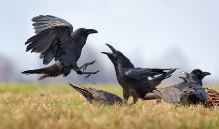 Common ravens interactions - hard fight between two birds for carrion